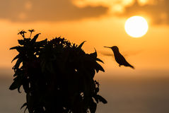 Humming bird in the sunset Royalty Free Stock Images