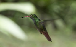 Humming bird suspended in mid-air Stock Photography