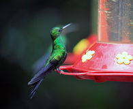 Humming Bird about to feed Stock Images