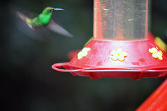 Humming Bird about to feed Stock Photos