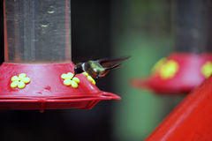 Humming Bird about to feed Stock Photography