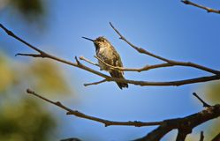 Humming Bird tree branch. Humming bird with long beak takes a rest on the branch of a dead tree Royalty Free Stock Image