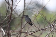 Humming Bird In Tree. Humming Bird on a tree branch royalty free stock image