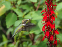 Humming Bird Stock Photos