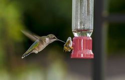 Humming bird and Yellow jacket Stock Photos