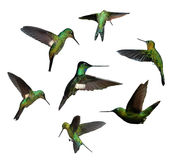 Humming birds Stock Image