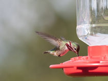Humming Birds. Migrating humming birds feeding in Northern Idaho Stock Image