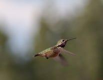 Humming Birds. Migrating humming birds feeding in Northern Idaho Stock Photos