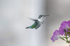 Humming birds  (Archilochus colubris) Stock Photography