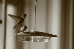 Humming birds feeding. Royalty Free Stock Image