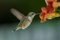 Humming birds feeding Royalty Free Stock Image