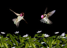 Humming birds flying against black background Royalty Free Stock Images