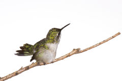 Humming fans her tail. Hummingbird fans her tail with a look of disdain toward the photographer stock photo