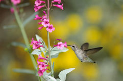 Humming and Flower Stock Images