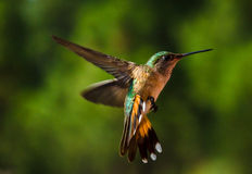 Humming Joy. This Hummingbird was caught while I was Camping near the Mogollon Rim in AZ Stock Photos