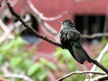 hummingbird ветви Стоковое Изображение RF