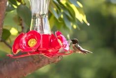 Hummingbird на фидере Стоковые Фото