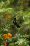 hummingbird садился на насест стоковые изображения rf