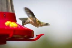 hummingbird фидера caliope Стоковое фото RF