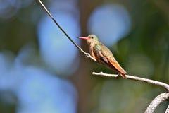hummingbird циннамона Стоковое Изображение RF