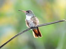 hummingbird эквадора amazilia стоковые изображения rf