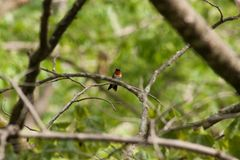 hummingbird imagens de stock royalty free
