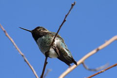 Hummingbird. A hummingbird perched on a slender tree branch stock photography