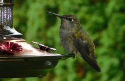 hummingbird fotos de stock