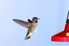 Hummingbird Royalty Free Stock Image