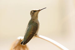 Hummingbird. Juvenile male hummingbird perched on papyrus stock photos