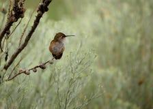 Hummingbird Royalty Free Stock Photo