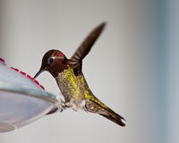 Hummingbird Stock Photos