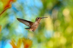 hummingbird Obrazy Royalty Free