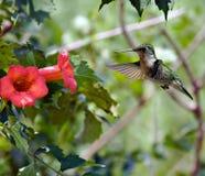 Hummingbird (2) royalty free stock photo