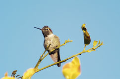 Hummingbird 2 Royalty Free Stock Images