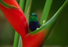 Hummingbird Royalty Free Stock Image