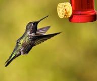 hummingbird стоковая фотография rf