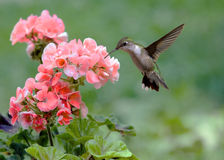 Free Hummingbird Royalty Free Stock Photos - 2619708