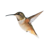 Hummingbird Fotografia Royalty Free