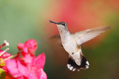 Hummingbird royaltyfri fotografi