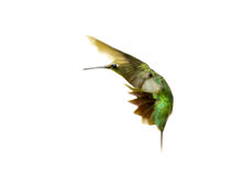 Hummingbird. Royalty Free Stock Photos