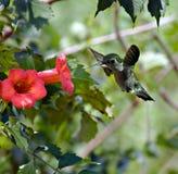 Hummingbird (3) royalty free stock photo