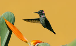 Hummingbird. Whit a yellow background stock images