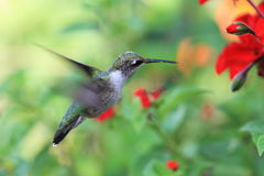 Hummingbird Obraz Stock