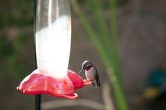 Hummingbird Stock Photos