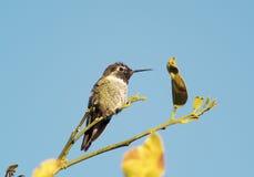Hummingbird 4 Stock Image