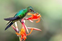 hummingbird Imagem de Stock Royalty Free