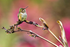 hummingbird Fotografia de Stock Royalty Free