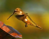 hummingbird Imagens de Stock