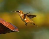hummingbird Imágenes de archivo libres de regalías